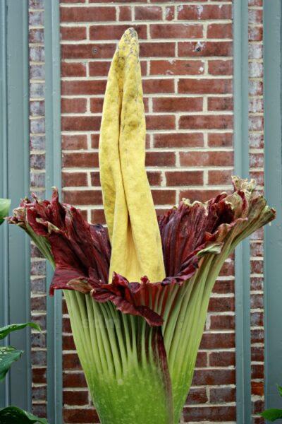 corpse flower missouri botanical gardens st louis missouri