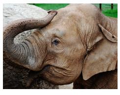 dickerson park zoo elephant