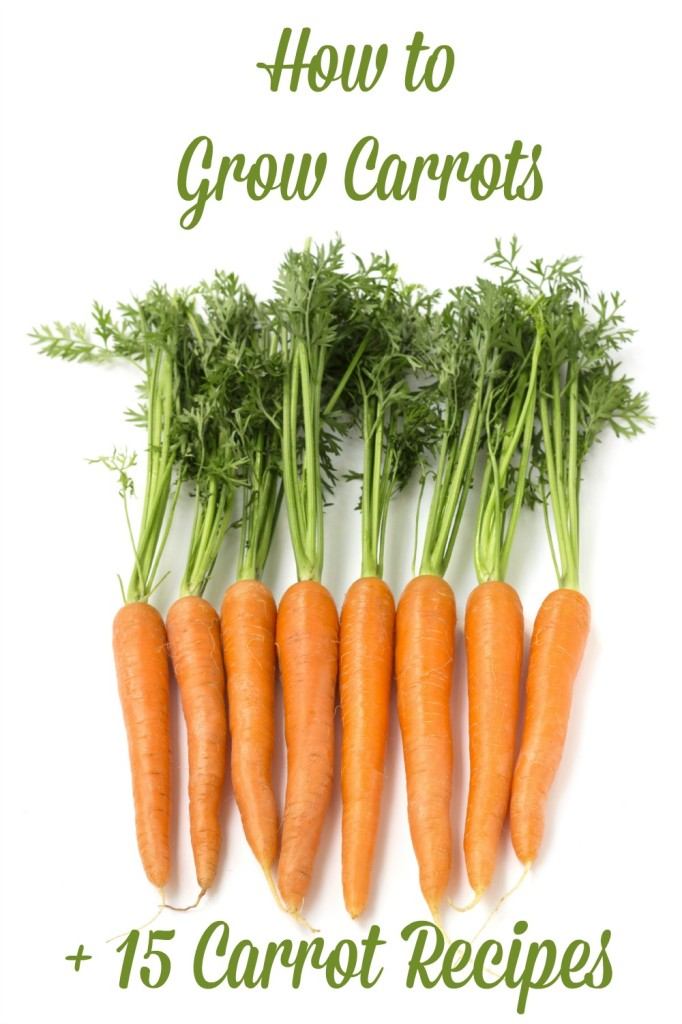 How to Grow Carrots + 15 Carrot Recipes