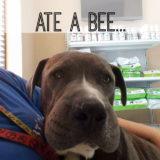 dog bee sting