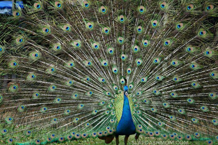 hawaiian peacock