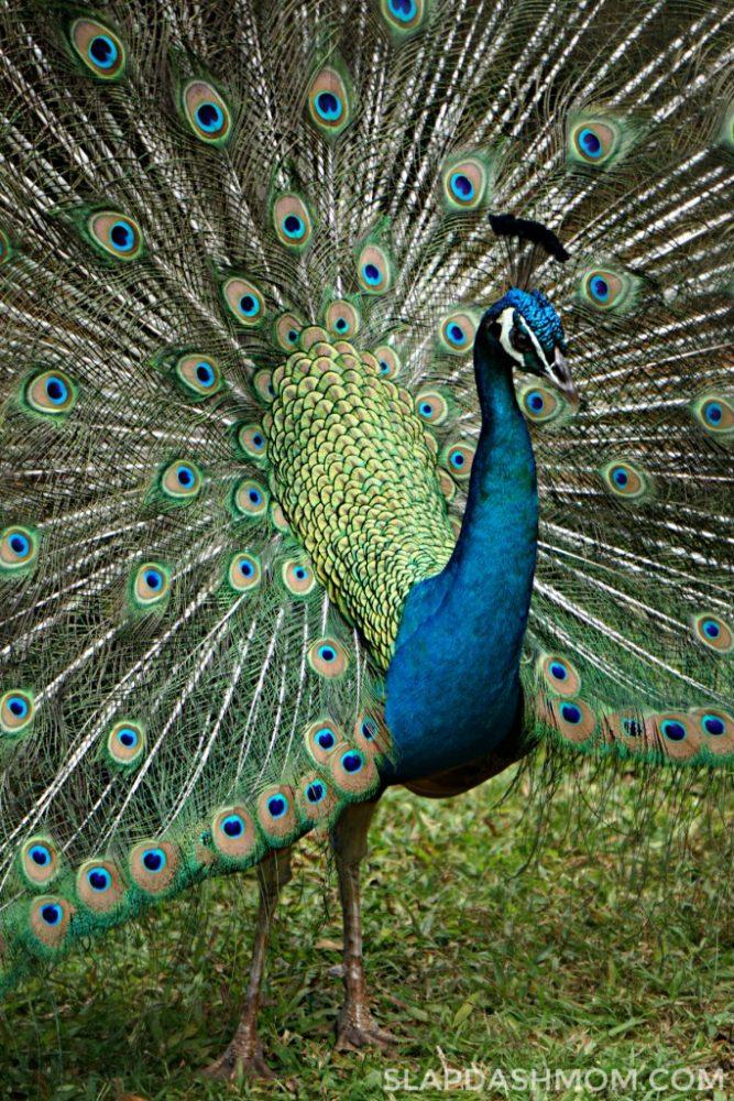 peacock in hawaii